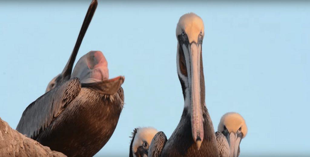 bostezo-pelicano2