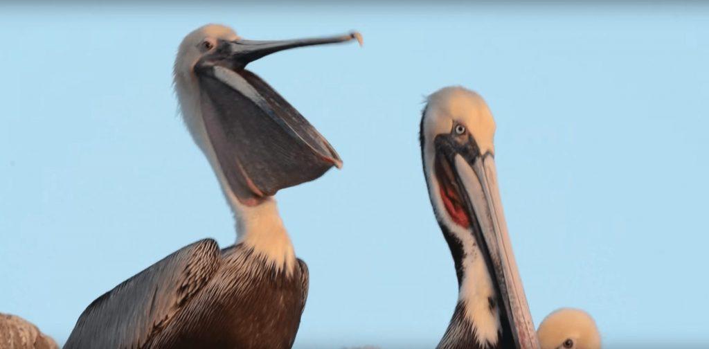 bostezo-pelicano3