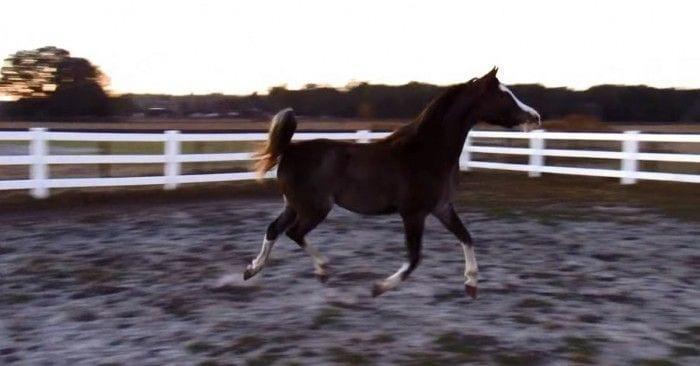 caballo bailarin dest
