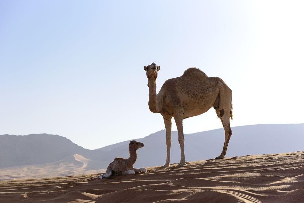 camello-maraton