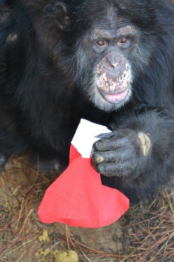 chimpance-adoptado-regalos1
