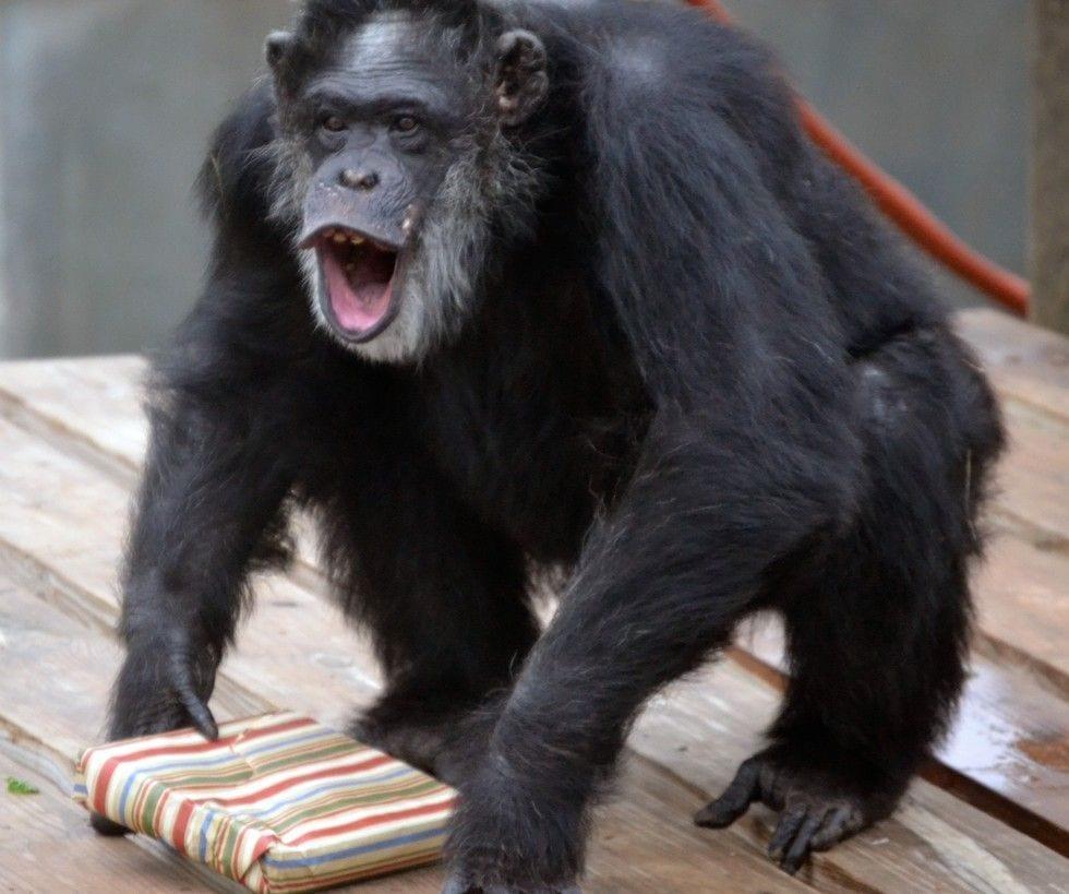 chimpance-adoptado-regalos10