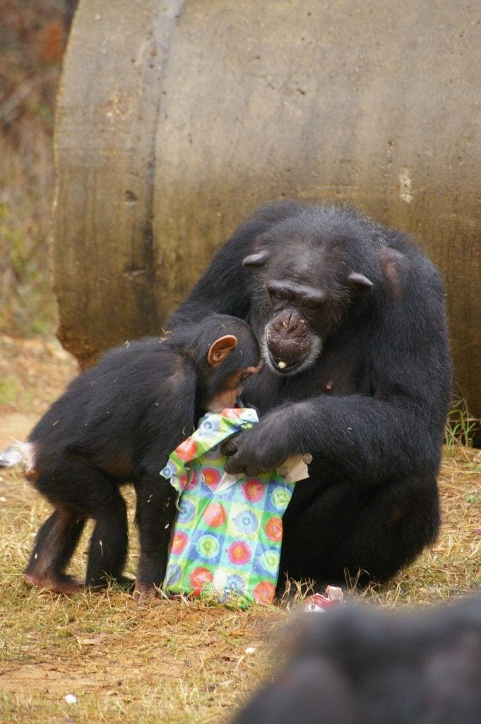 chimpance-adoptado-regalos11