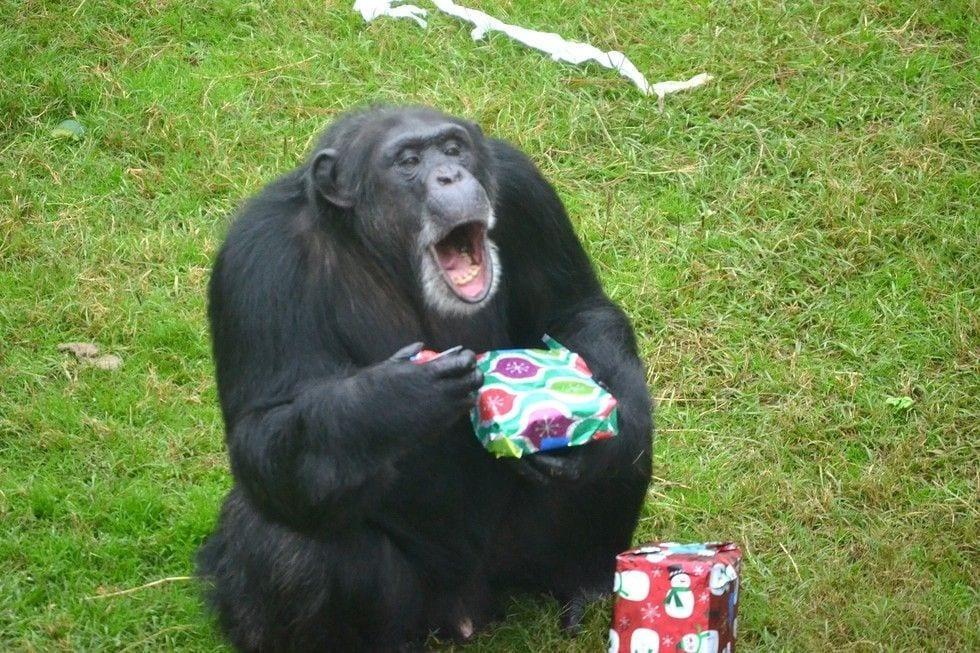chimpance-adoptado-regalos12