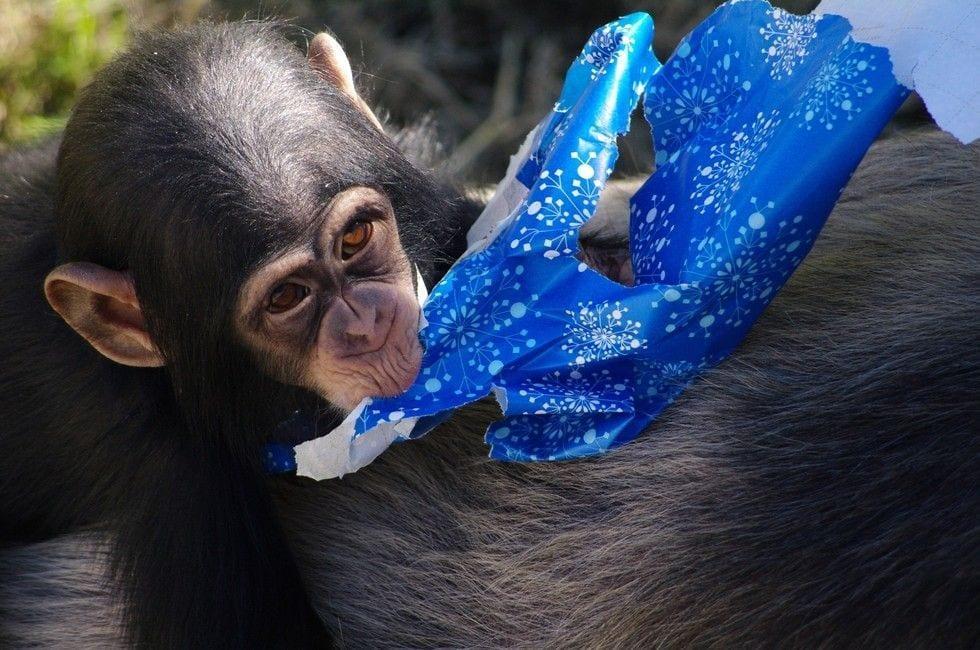 chimpance-adoptado-regalos2