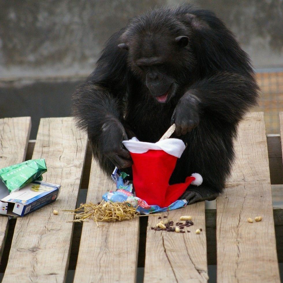 chimpance-adoptado-regalos3