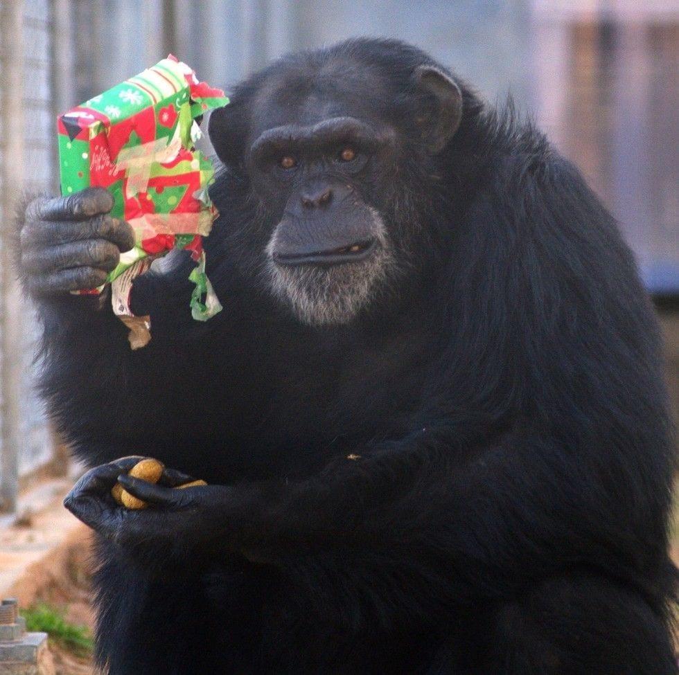 chimpance-adoptado-regalos4