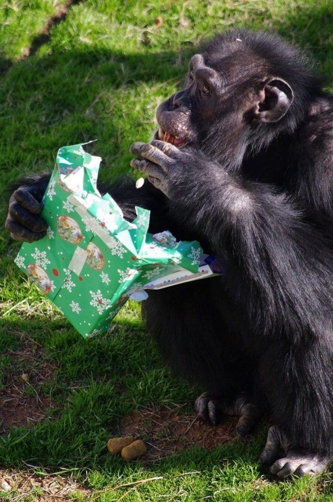 chimpance-adoptado-regalos5