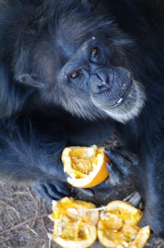 chimpance-adoptado-regalos7
