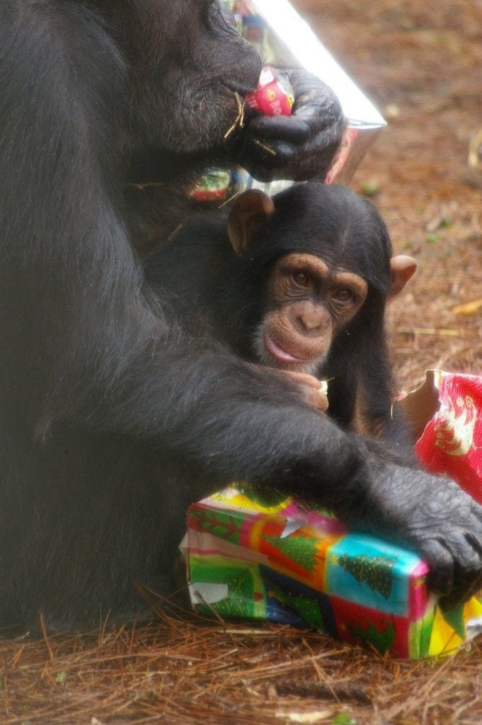 chimpance-adoptado-regalos8
