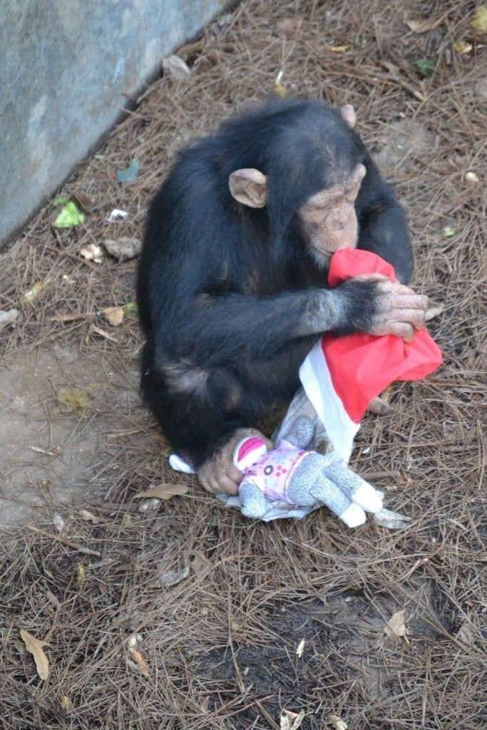chimpance-adoptado-regalos9
