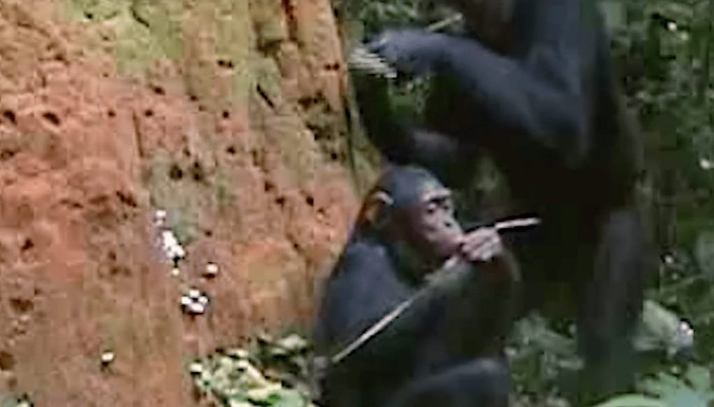 chimpance-herramienta1