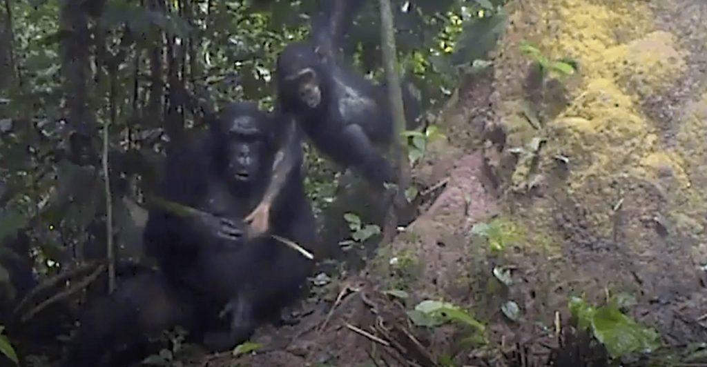 chimpance-herramienta2