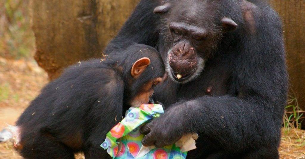 chimpances regalos