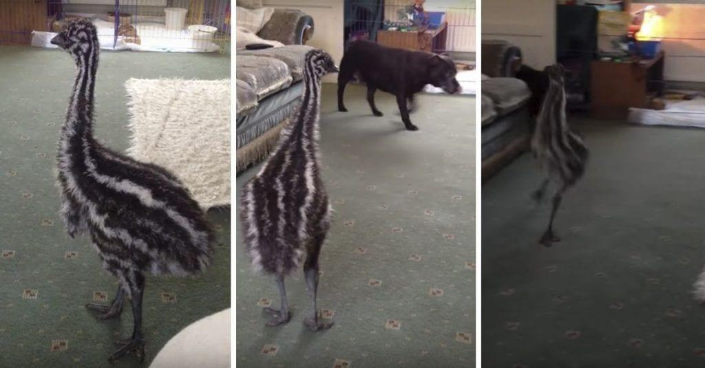 emu perro destacada