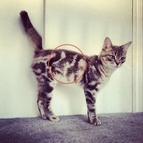 gatos-pelaje-precioso11