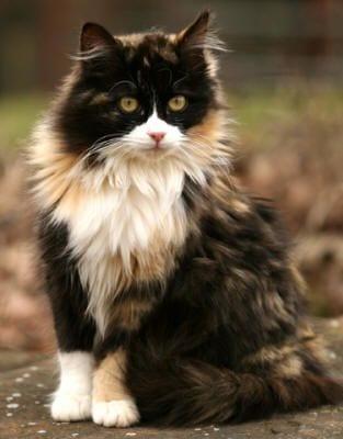 gatos-pelaje-precioso12