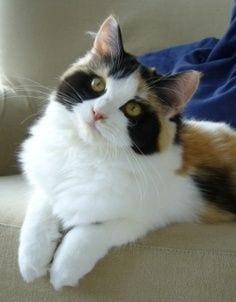 gatos-pelaje-precioso14