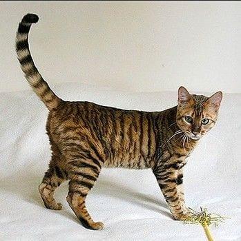gatos-pelaje-precioso16