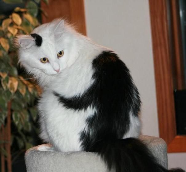 gatos-pelaje-precioso17