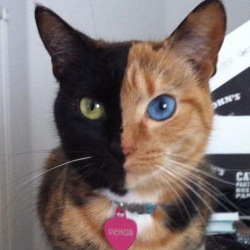 gatos-pelaje-precioso19