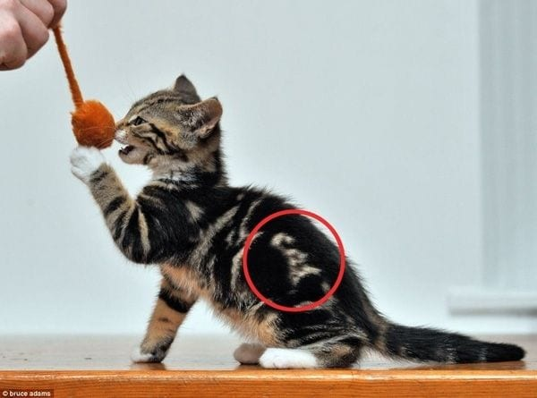 gatos-pelaje-precioso24