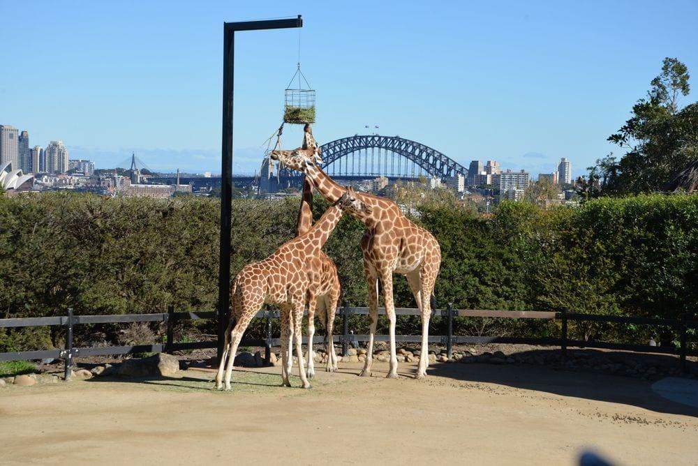 jirafa-zoo