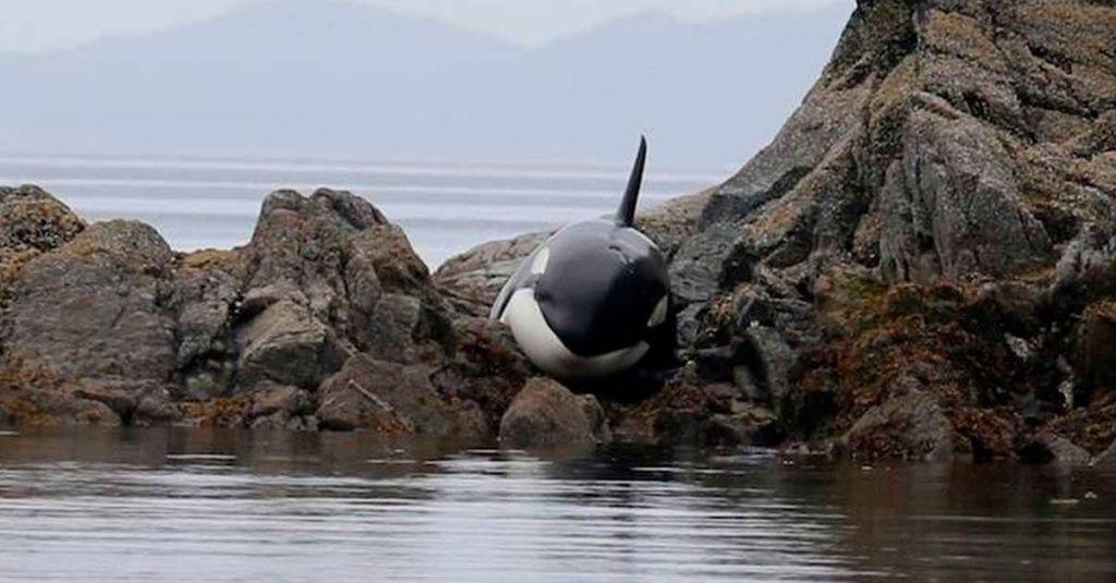 orca varada rocas rescate