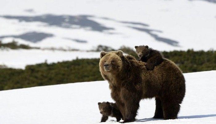 osos destacada