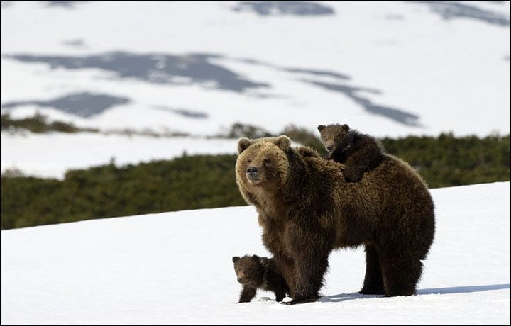 osos-siberia1