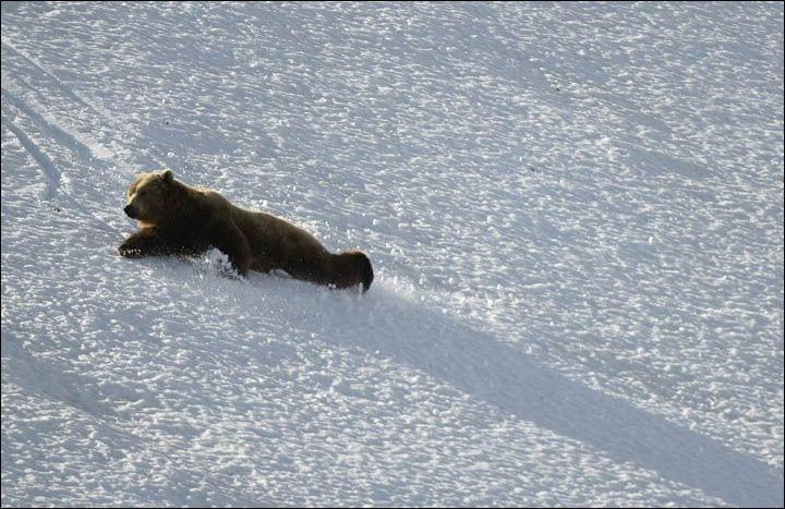 osos-siberia10