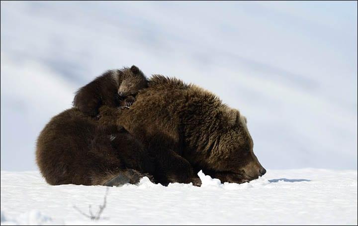 osos-siberia12