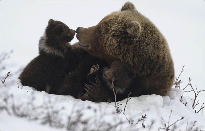 osos-siberia2