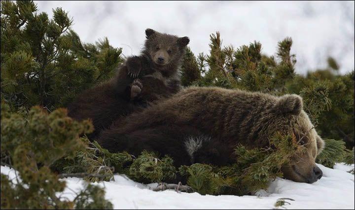 osos-siberia6