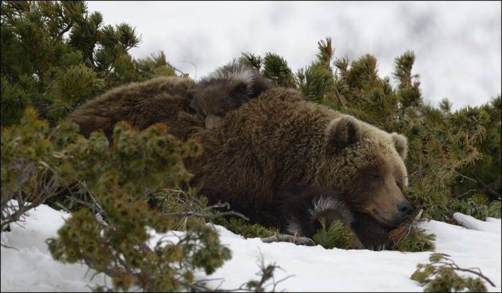 osos-siberia8