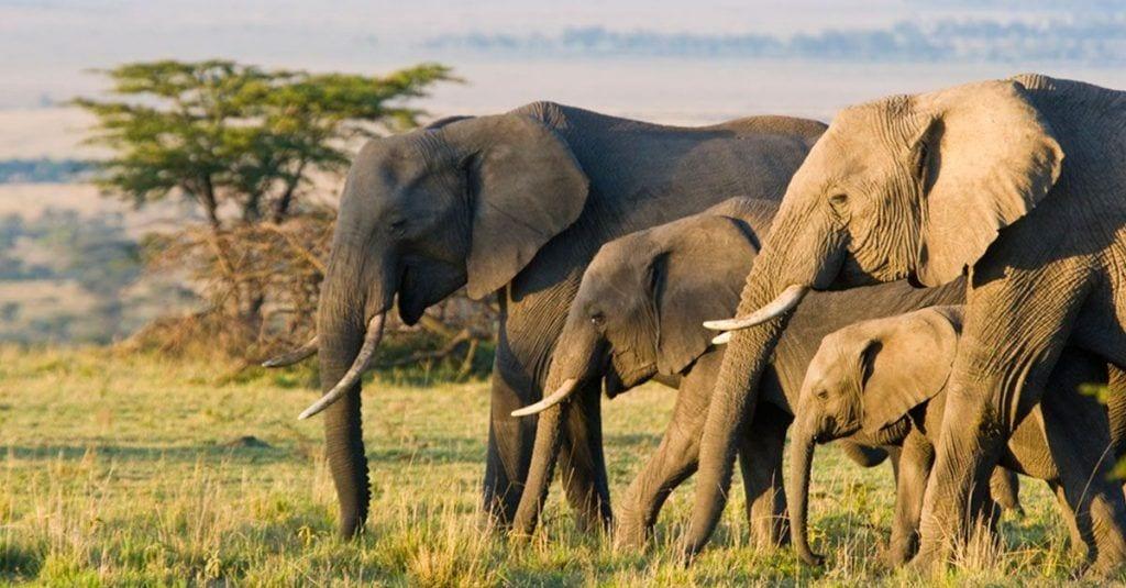 elefantes sin colmillos 06