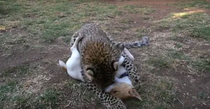 guepardo perro amigos