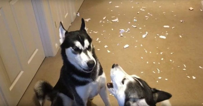 huskies discutiendo dest