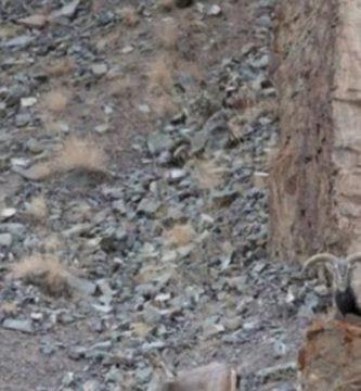 leopardo oculto