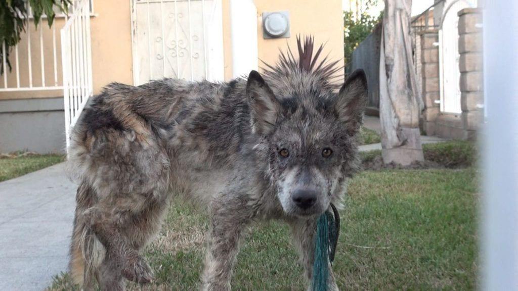 lobo o perro 02
