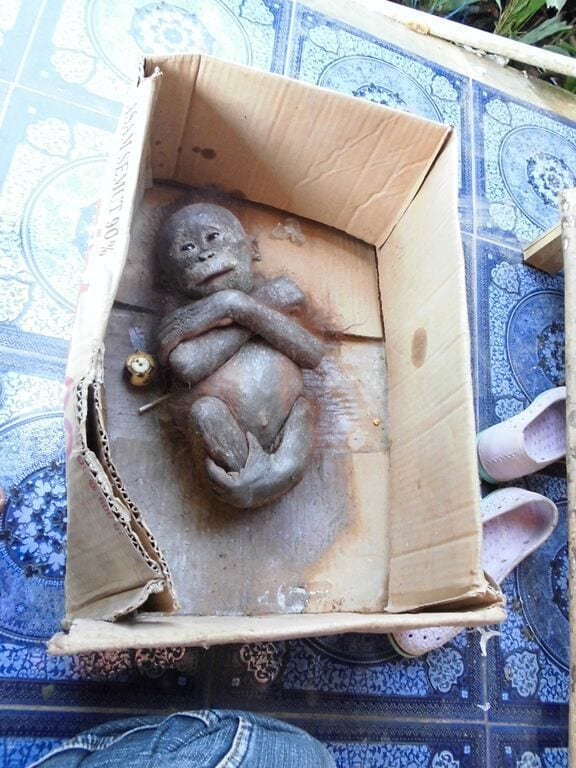 orangutan-bebe-momificado1