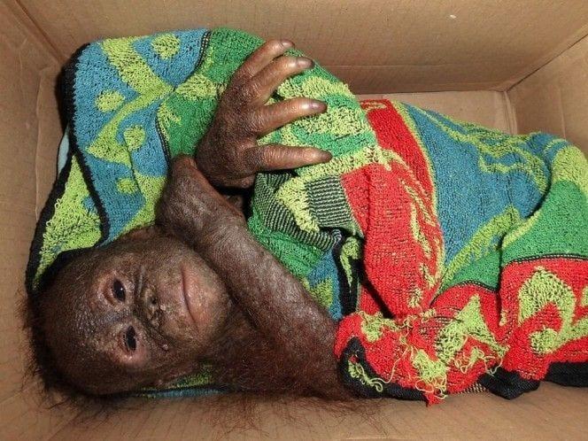 orangutan-bebe-momificado2