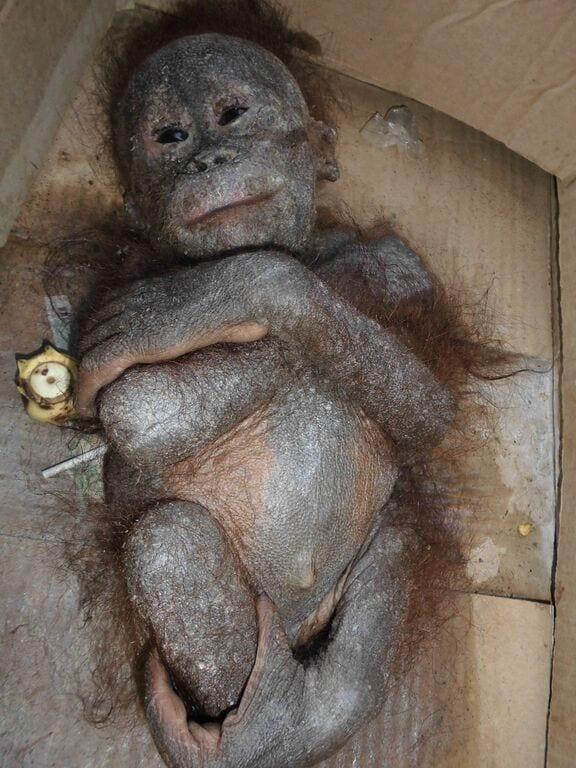 orangutan-bebe-momificado3