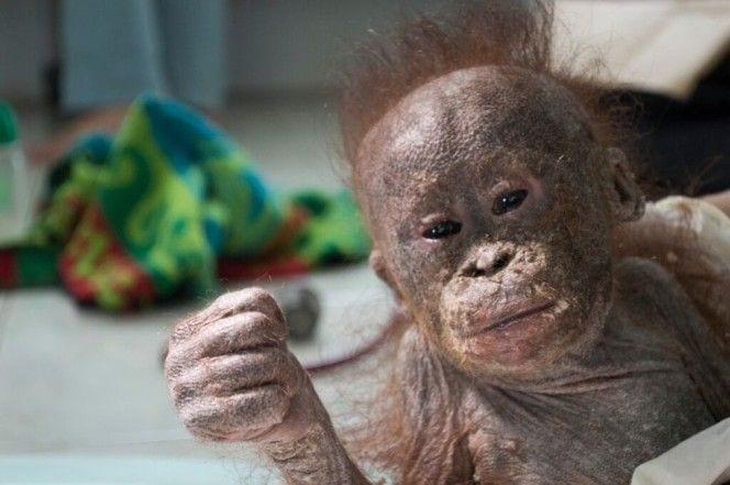 orangutan-bebe-momificado4