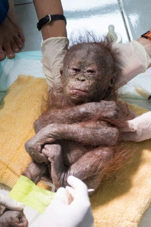 orangutan-bebe-momificado6