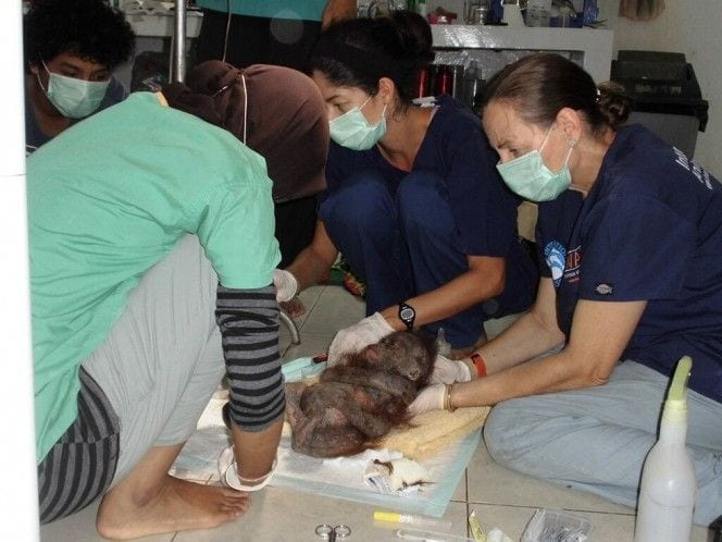 orangutan-bebe-momificado7