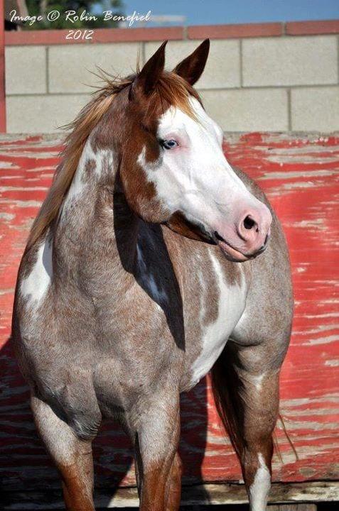 caballos-hermosos10