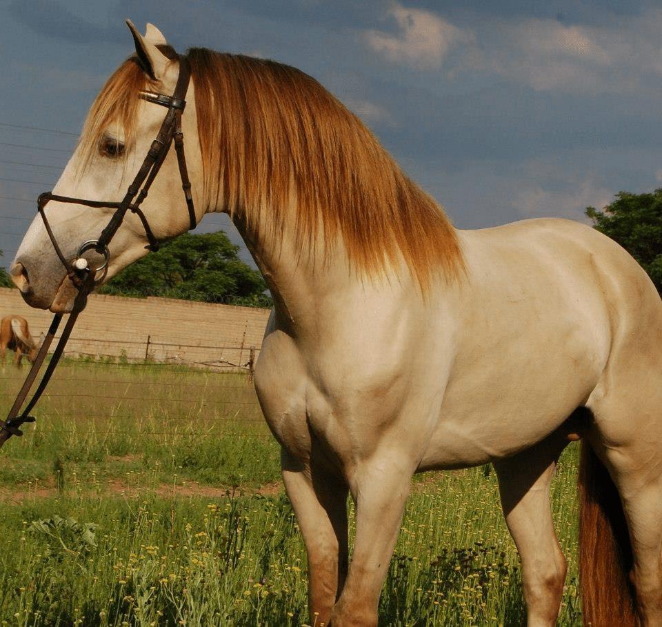 caballos-hermosos12