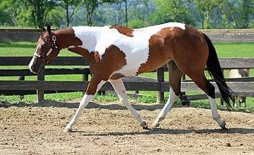 caballos-hermosos15