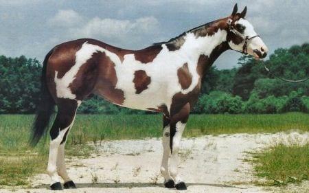 caballos-hermosos6